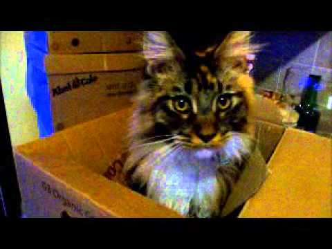 Weird noises my Maine Coon cats make part one - Quinn