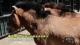 【芒果看天下】新疆私藏一个鲜为人知的宝库:探秘中国最大且唯一的汗血宝马基地