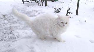 Funny cats  Turkish angora cat demanding ATTENTION