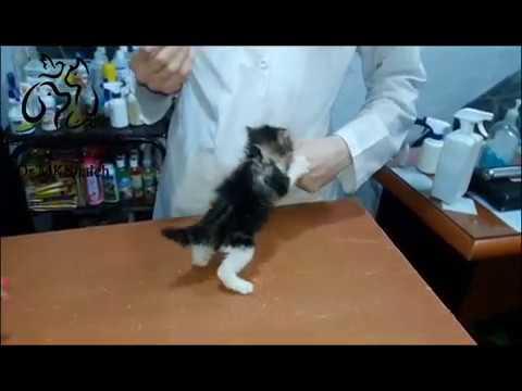 tiny angry cat at vet clinic