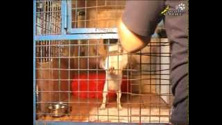 Training A Jack Russel Terrier | How To Crate Train The Dog
