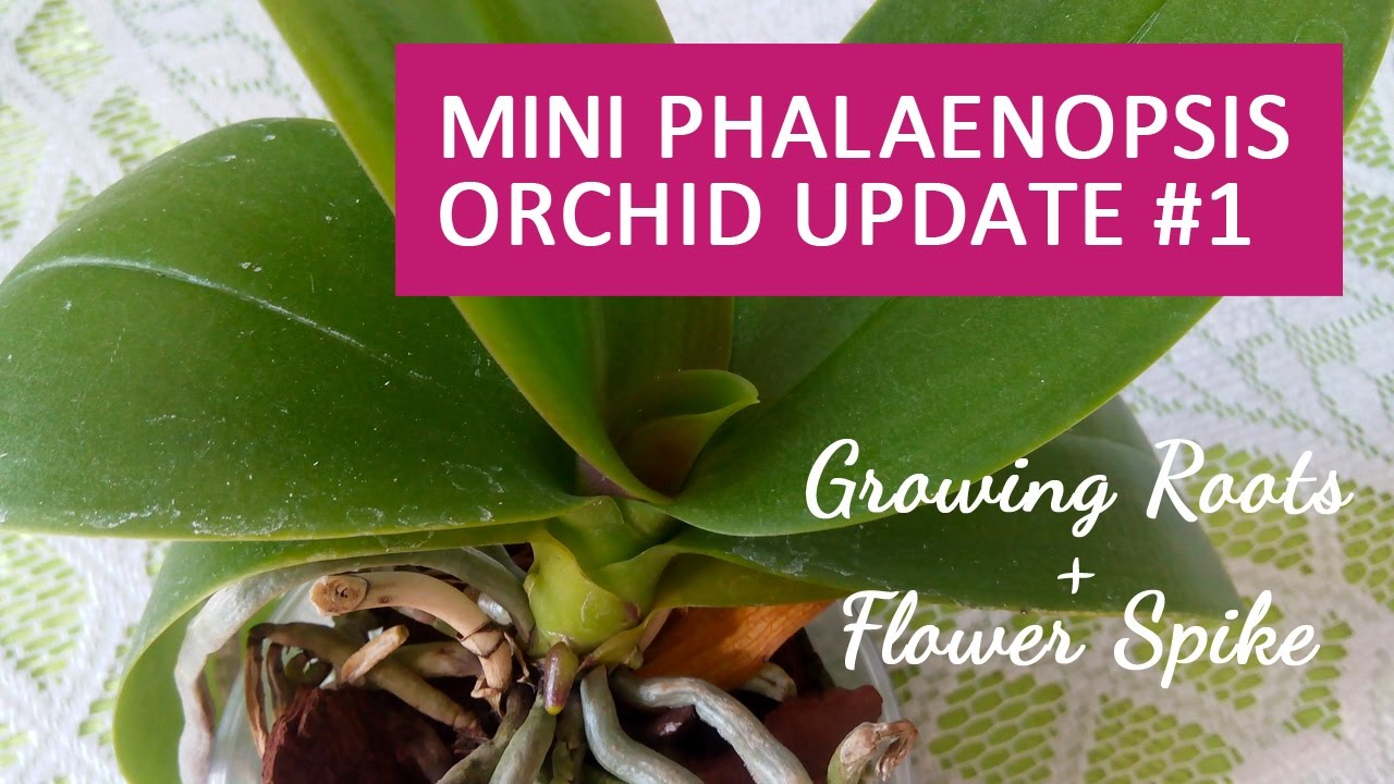 Mini Phalaenopsis Orchid Update 1 New Roots Flower Spike Youtube