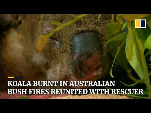 Koala Badly Burnt In Australian Bush Fires Reunites With His Heroic Rescuer