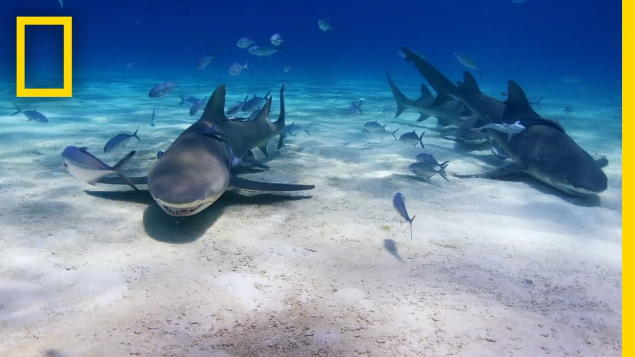 What Sharks Are Tag-Teaming Attacks? | SharkFest