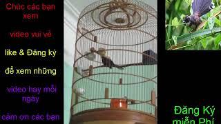 chim sẻ quạt hót múa cục hay -  BVC