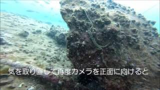 引本港 4月は小魚いっぱい、たまに大物も【水中映像】