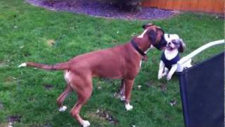 Shih Tzu Fights Boxer