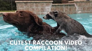 Cutest Raccoon Compilation! thumbnail
