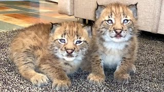 LYNX KITTENS HAVE LEARNED HOW TO WASH THEMSELVES