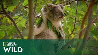 Samce koala słyną z dziwnych sposobów na uwodzenie! [Humorzaste zwierzaki]