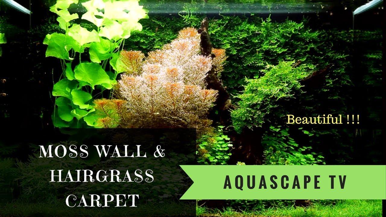 100l Moss Wall Aquarium With Hairgrass Carpet Aquascape Tv Youtube