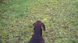 German Shorthaired Pointer- Working