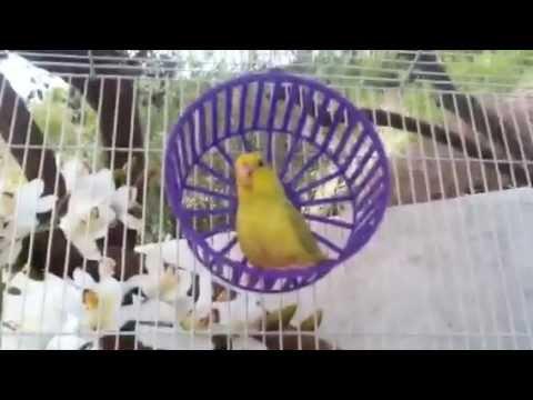 Green Fallow Parrotlets + Parrot Toys + Parrotletbirds
