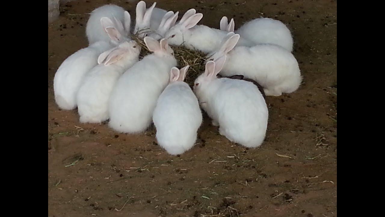 أرانب منتجة بيضاء للبيع