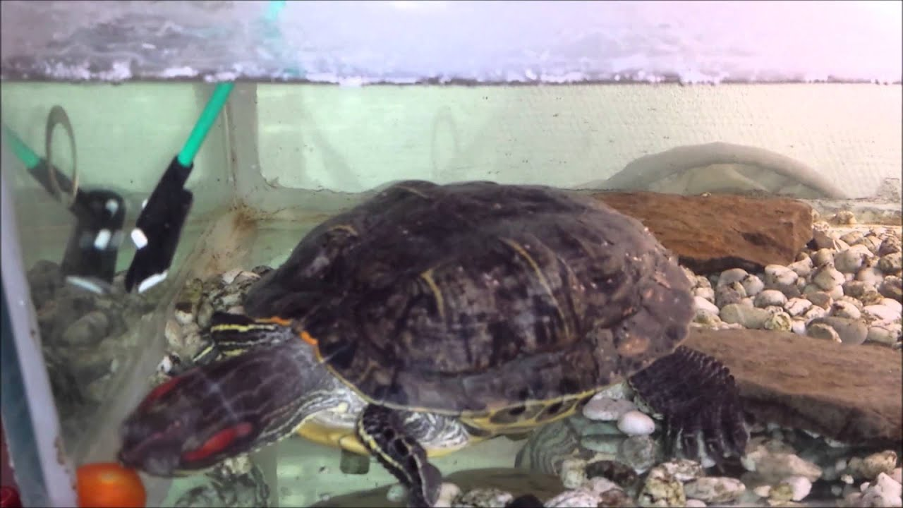 how to entertain your turtle. - youtube