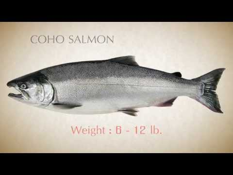 How To Identify Pacific Salmon - Part 2  Beta