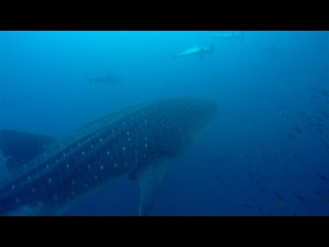 Diving in Galapagos with thousands of sharks 4K