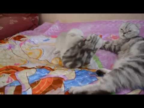 Наши плюшевые шотландские вислоухие котята.