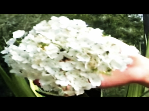 *'Japanese Snowball' Tree* +Viburnum Plicatum+Big White Flower+