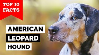 American Leopard Hound  Top 10 Facts