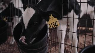 Did You Know - Cow Ear Tags