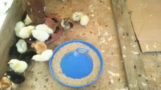 Puisori Araucana cu ouă verzi!