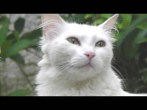 Gato Branco Angor - Brazilian Angora White Cat  in Florianpolis island Brazil