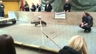Weight Pull Ewpl - Staffordshire Bull Terrier Elda Pulls 598 Kg
