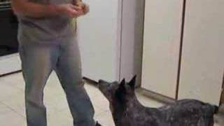 the smartest dog in the land australian cattle dog blue h