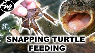 SNAPPING TURTLE FEEDING!!!