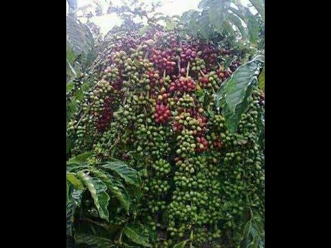 Pohon kopi berbuah lebat