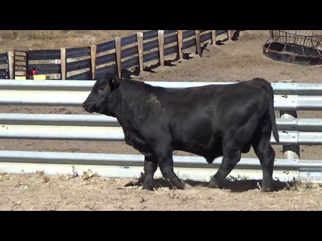 Connealy Angus Lot 168