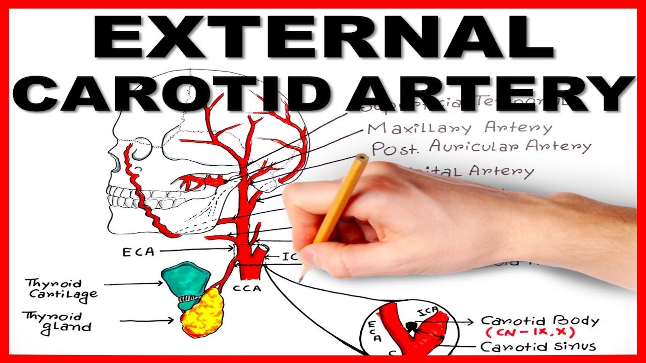 External Carotid Artery Youtube