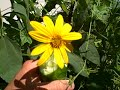Jerusalem artichoke Sunchoke Plant and Flowers