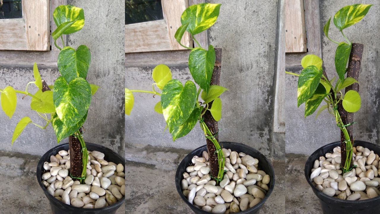 Download Amazing Ideas to Grow Money Plant Like a Tree - Money Plant Decoration for Indoor & Outdoor