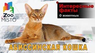 Абиссинская кошка - Интересные факты о породе | Кошка породы абиссинская кошка