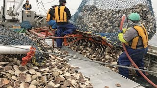 This is How Fisherman Catch Hundreds Tons Scallops - Amazing Catching & Processing Scallops on Sea