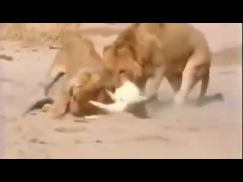 Lion vs Crocodile vs Jaguar