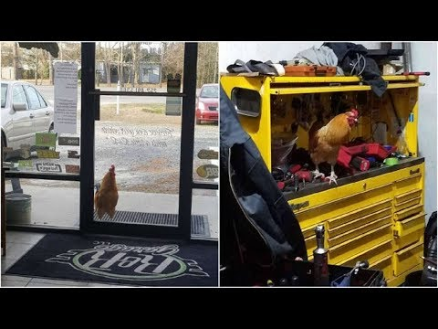 Rooster Shows Up At Auto Shop One Day And Decides He Works There Now
