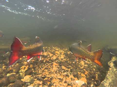 Fall Colors -- Maine Brook Trout