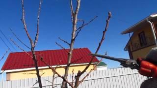 видео абрикос обрезка весной