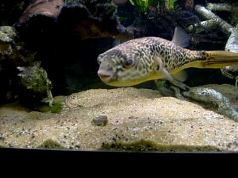 12 Mbu Puffer Fish Eating Cockle Youtube