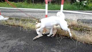 じゃれるのが大好きな2匹犬の世界も♀が強いのかしら?