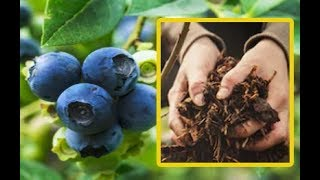 How To Grow Your Own Endless Supply Of Blueberries At Home thumbnail