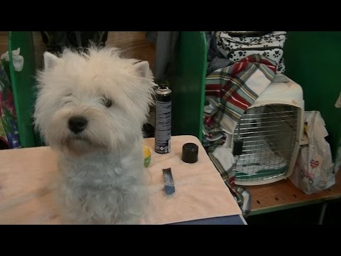 West Highland White Terrier in Crufts 2017