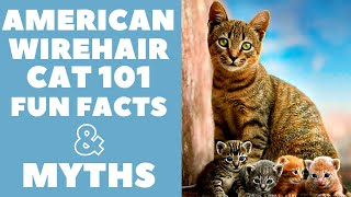 American Wirehair Cats 101 : Fun Facts & Myths