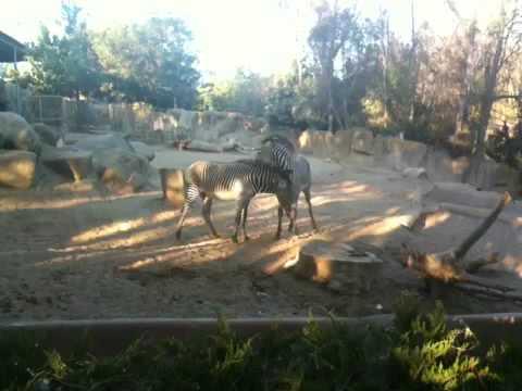 San Diego Zoo Zebras Fighting thumbnail
