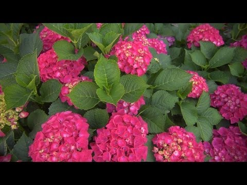 Growing Hydrangeas   At Home With P. Allen Smith