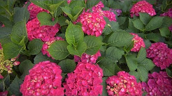 Growing Hydrangeas | At Home With P. Allen Smith