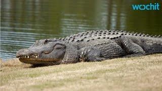 humongous alligator takes stroll on florida golf course